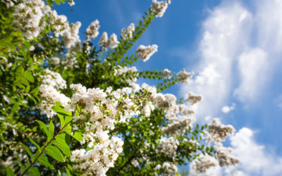 Should You Prune Crepe Myrtles in the Fall?